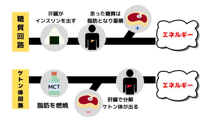 糖質回路とケトン体回路